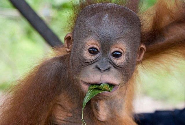 orangutan-in-borneo
